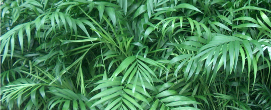 Plant of the Month – Parlour Palm (Chamaedorea elegans 'Neanthe Bella')