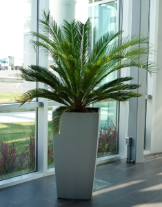 Sago Palm in Cubico 50 planter