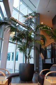Howeia forsteriana (Kentia Palm)
