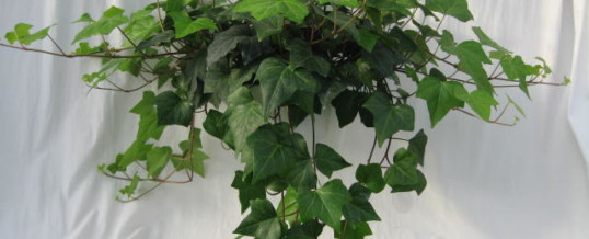 Plant of the Month-Ivy (Hedera species)