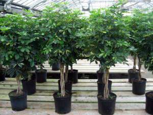 Schefflera arboricola 'Capella' braided tree