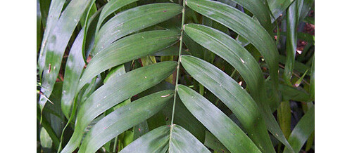 Plant of the Month – Chamaedorea erumpens (Bamboo Palm)