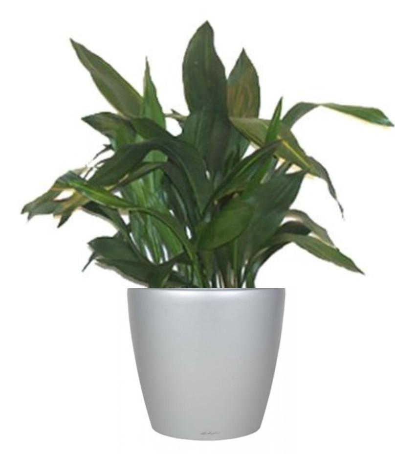Cast Iron Plants : Plant of the month cast iron aspidistra elatior