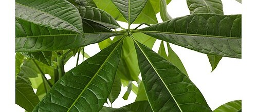 Plant of the Month – Money Tree (Pachira aquatica)