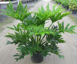 Selloum Philodendron