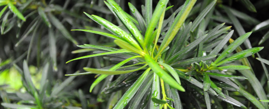 Plant of the Month – Buddhist  Pine (Podocarpus macrophyllus)