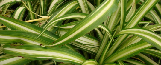 Plant of the Month – Spider Plant (Chlorophytum comosum)