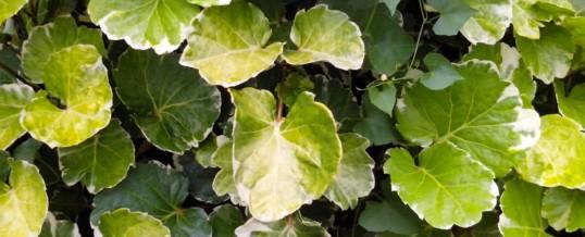 Plant of the Month – Aralia (Polyscias species)