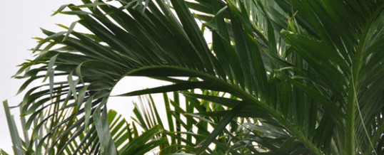 Adonidia Palm (Veitchia merrillii) – Plant of the Month