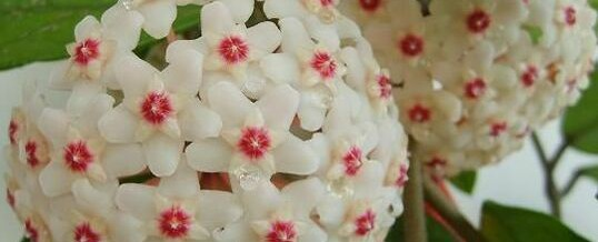 Wax Plant (Hoya carnosa) – Plant of the Month