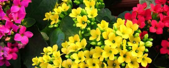 Cyclamen, Calla Lily, Kalanchoe- Spring Colour!