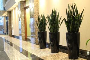 Snake plant 'Zeylanica'
