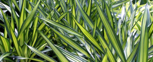 Dracaena Rikki – Plant of the Month