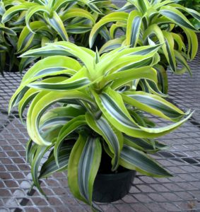 Dracaena 'Lemon Surprise'