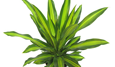 Dracaena – unique new cultivars