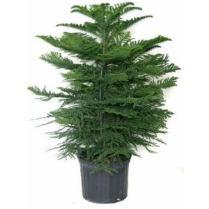 Norfolk Island Pine Tree office plant