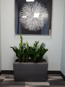 ZZ Plants for my office