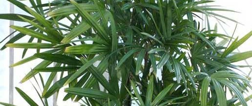 Lady Palm – Rhapis excelsa