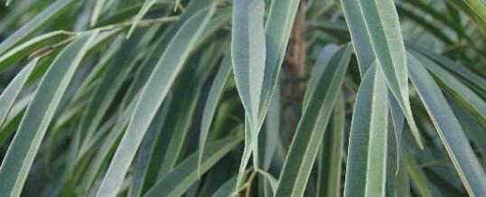 Ficus Alii (Ficus binnendijkii 'Alii')