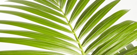 Kentia Palm (Howeia forsteriana)