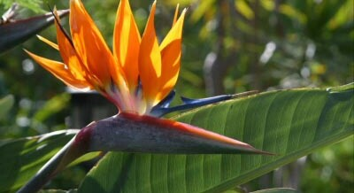 Strelitzia nicolai – White Bird of Paradise