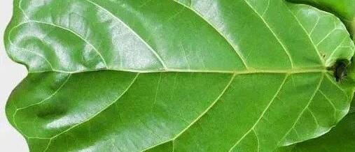 Fiddle Leaf Fig Tree (Ficus lyrata)